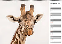 Emotionale Momente: Giraffen, die höchsten Tiere der Welt. (Wandkalender 2019 DIN A2 quer) - Produktdetailbild 12