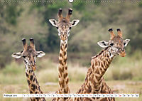 Emotionale Momente: Giraffen, die höchsten Tiere der Welt. (Wandkalender 2019 DIN A2 quer) - Produktdetailbild 2