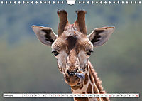 Emotionale Momente: Giraffen, die höchsten Tiere der Welt. (Wandkalender 2019 DIN A4 quer) - Produktdetailbild 6
