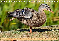 Enten. Beliebt, hübsch und imposant (Tischkalender 2019 DIN A5 quer) - Produktdetailbild 1