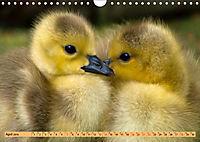 Enten. Beliebt, hübsch und imposant (Wandkalender 2019 DIN A4 quer) - Produktdetailbild 4