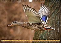 Enten. Beliebt, hübsch und imposant (Wandkalender 2019 DIN A4 quer) - Produktdetailbild 7