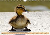 Enten. Beliebt, hübsch und imposant (Wandkalender 2019 DIN A4 quer) - Produktdetailbild 8
