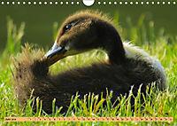 Enten. Beliebt, hübsch und imposant (Wandkalender 2019 DIN A4 quer) - Produktdetailbild 6