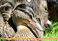 Enten. Beliebt, hübsch und imposant (Wandkalender 2019 DIN A4 quer) - Produktdetailbild 9