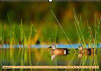Enten. Beliebt, hübsch und imposant (Wandkalender 2019 DIN A2 quer) - Produktdetailbild 2