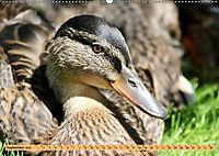 Enten. Beliebt, hübsch und imposant (Wandkalender 2019 DIN A2 quer) - Produktdetailbild 9