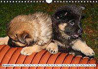 Eurasier, der Hund im Wolfspelz (Wandkalender 2019 DIN A4 quer) - Produktdetailbild 11