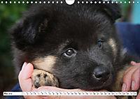 Eurasier, der Hund im Wolfspelz (Wandkalender 2019 DIN A4 quer) - Produktdetailbild 5