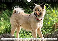 Eurasier, der Hund im Wolfspelz (Wandkalender 2019 DIN A4 quer) - Produktdetailbild 9