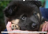 Eurasier, der Hund im Wolfspelz (Wandkalender 2019 DIN A3 quer) - Produktdetailbild 5