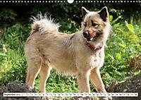 Eurasier, der Hund im Wolfspelz (Wandkalender 2019 DIN A3 quer) - Produktdetailbild 9