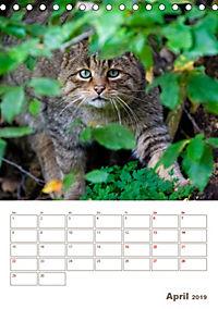 Europäische Wildkatzen - Jahresplaner (Tischkalender 2019 DIN A5 hoch) - Produktdetailbild 4