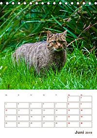Europäische Wildkatzen - Jahresplaner (Tischkalender 2019 DIN A5 hoch) - Produktdetailbild 6