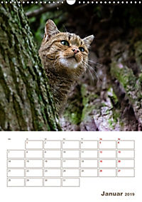 Europäische Wildkatzen - Jahresplaner (Wandkalender 2019 DIN A3 hoch) - Produktdetailbild 1