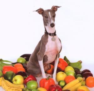 Excellent Italian Greyhound, Shellac