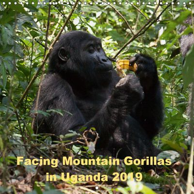 Facing Mountain Gorillas in Uganda (Wall Calendar 2019 300 × 300 mm Square), Johanna Krause