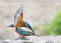 Faszination Eisvogel (Tischkalender 2019 DIN A5 quer) - Produktdetailbild 4