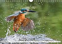 Faszination Eisvogel (Wandkalender 2019 DIN A4 quer) - Produktdetailbild 10