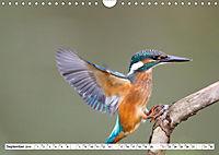 Faszination Eisvogel (Wandkalender 2019 DIN A4 quer) - Produktdetailbild 13