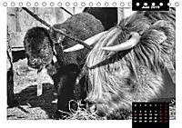 Faszination Schottisches Hochlandrind (Tischkalender 2019 DIN A5 quer) - Produktdetailbild 3