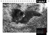 Faszination Schottisches Hochlandrind (Tischkalender 2019 DIN A5 quer) - Produktdetailbild 12