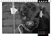 Faszination Schottisches Hochlandrind (Tischkalender 2019 DIN A5 quer) - Produktdetailbild 4
