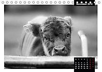 Faszination Schottisches Hochlandrind (Tischkalender 2019 DIN A5 quer) - Produktdetailbild 11
