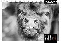 Faszination Schottisches Hochlandrind (Tischkalender 2019 DIN A5 quer) - Produktdetailbild 1