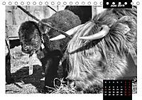 Faszination Schottisches Hochlandrind (Tischkalender 2019 DIN A5 quer) - Produktdetailbild 6