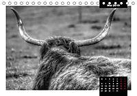 Faszination Schottisches Hochlandrind (Tischkalender 2019 DIN A5 quer) - Produktdetailbild 5