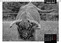 Faszination Schottisches Hochlandrind (Wandkalender 2019 DIN A4 quer) - Produktdetailbild 2