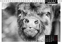 Faszination Schottisches Hochlandrind (Wandkalender 2019 DIN A4 quer) - Produktdetailbild 5