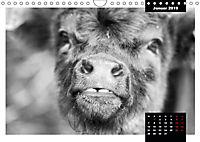 Faszination Schottisches Hochlandrind (Wandkalender 2019 DIN A4 quer) - Produktdetailbild 1