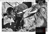 Faszination Schottisches Hochlandrind (Wandkalender 2019 DIN A4 quer) - Produktdetailbild 6