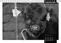 Faszination Schottisches Hochlandrind (Wandkalender 2019 DIN A4 quer) - Produktdetailbild 9