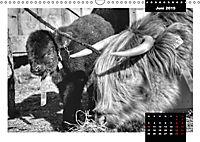 Faszination Schottisches Hochlandrind (Wandkalender 2019 DIN A3 quer) - Produktdetailbild 6