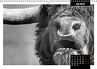 Faszination Schottisches Hochlandrind (Wandkalender 2019 DIN A3 quer) - Produktdetailbild 7