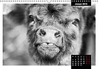 Faszination Schottisches Hochlandrind (Wandkalender 2019 DIN A3 quer) - Produktdetailbild 1