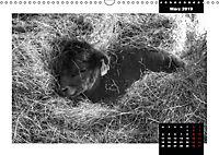 Faszination Schottisches Hochlandrind (Wandkalender 2019 DIN A3 quer) - Produktdetailbild 3