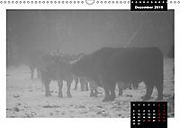 Faszination Schottisches Hochlandrind (Wandkalender 2019 DIN A3 quer) - Produktdetailbild 12