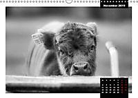 Faszination Schottisches Hochlandrind (Wandkalender 2019 DIN A3 quer) - Produktdetailbild 11