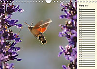 Faszinierende Taubenschwänzchen (Wandkalender 2019 DIN A4 quer) - Produktdetailbild 3