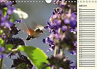 Faszinierende Taubenschwänzchen (Wandkalender 2019 DIN A4 quer) - Produktdetailbild 7