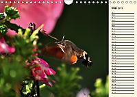 Faszinierende Taubenschwänzchen (Wandkalender 2019 DIN A4 quer) - Produktdetailbild 5