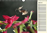 Faszinierende Taubenschwänzchen (Wandkalender 2019 DIN A4 quer) - Produktdetailbild 6