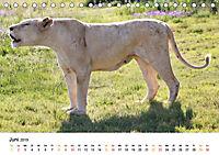 FAZINATION Weisse Löwen (Tischkalender 2019 DIN A5 quer) - Produktdetailbild 6