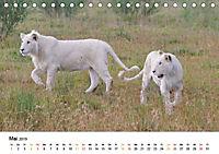 FAZINATION Weisse Löwen (Tischkalender 2019 DIN A5 quer) - Produktdetailbild 5
