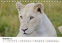 FAZINATION Weisse Löwen (Tischkalender 2019 DIN A5 quer) - Produktdetailbild 11
