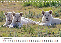 FAZINATION Weisse Löwen (Tischkalender 2019 DIN A5 quer) - Produktdetailbild 9